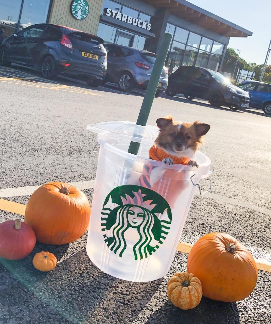 chihuahua in a giant starbucks cup